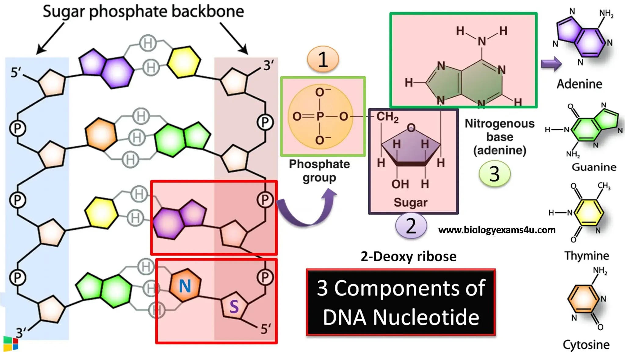 3 components of DNA nucleotide