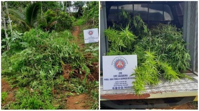 Operação da Cipe Cacaueira destrói cerca 1.200 pés de maconha na zona rural de Taperoá