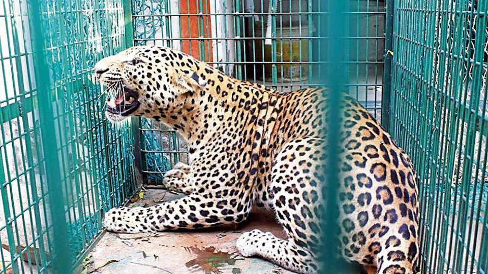 Ratlam News- ratlam samachar-Rescue operation in Badayla Mataji ratlam caught Leopard and sent to Gandhisagar- रतलाम न्यूज़, रतलाम समाचार, रतलाम खबर- बड़ायला माताजी में रेस्क्यू ऑपरेशन द्वारा तेंदुए को पकड़कर गांधीसागर रतलाम भेजा
