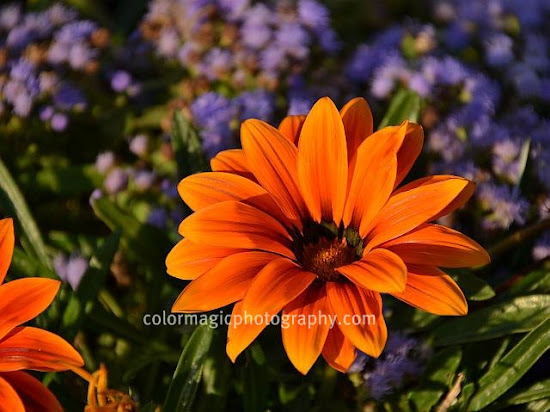 Orange gazania close-up