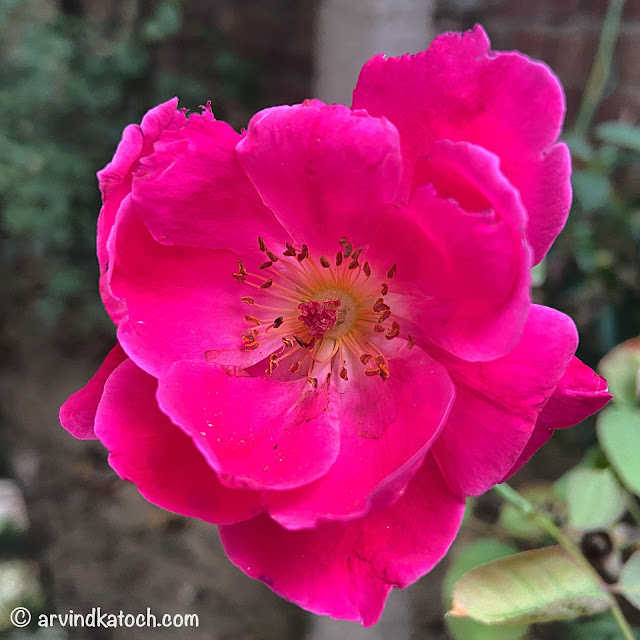 Beautiful Red Rose Picture (Iphone Photography)