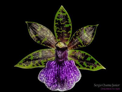 Orquídea Zygopetalum maculatum