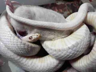 सपने में सफेद सांप देखना sapne mein white snakes dekhna