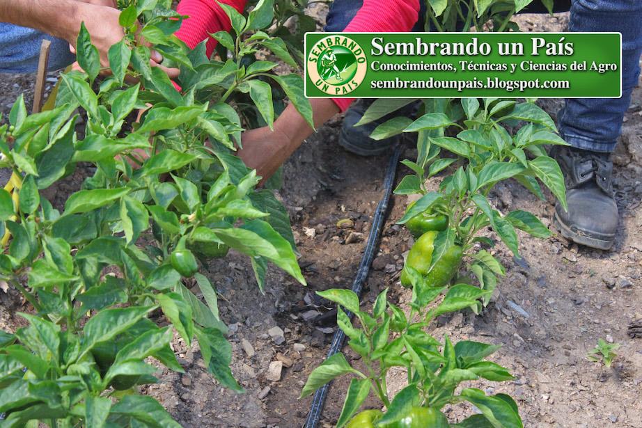 cultivo de pimentón