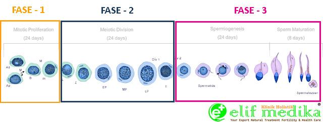 3 Fase Spermatogenesis