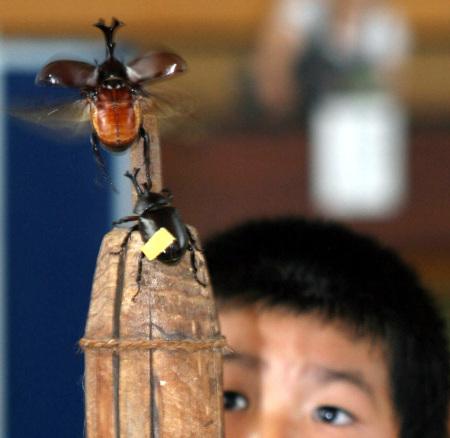 Unicorn Beetle Sumo Competition, Nakayama Town, Yamagata Pref.Unicorn Beetle Sumo Competition, Nakayama Town, Yamagata Pref.
