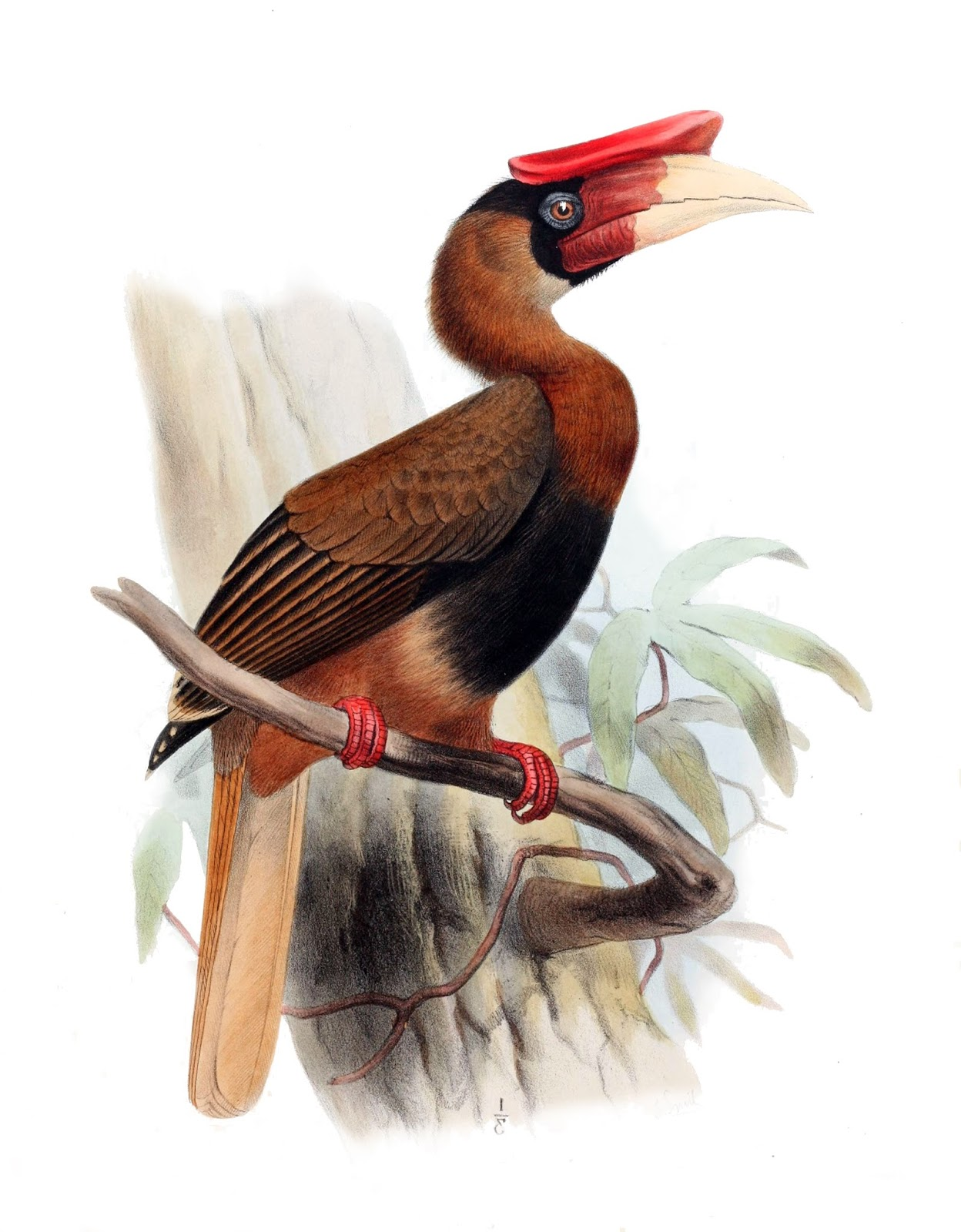 Rufous Hornbill - Hornbills pair for life and have an unusual breeding behaviour.