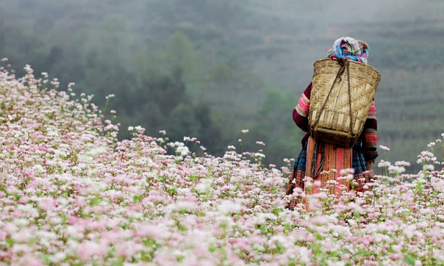 The Ideal Place To See The Buckwheat Flower in Ha Giang 4