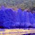 أشجار التنوب الأرجوانية