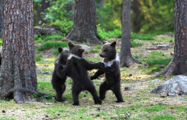 Homem flagra três ursos dançando no meio da floresta, pensou que era sua imaginação 4