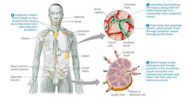 Gambar  . Sistem Imunitas pada Manusia