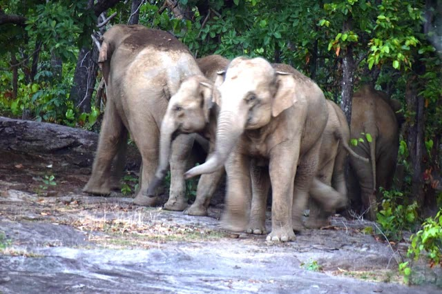 BREAKING NEWS:- हाथी के हमले से कोरवा महिला की मौत,मवेशी चराने के दौरान जंगल में सो गया था परिवार
