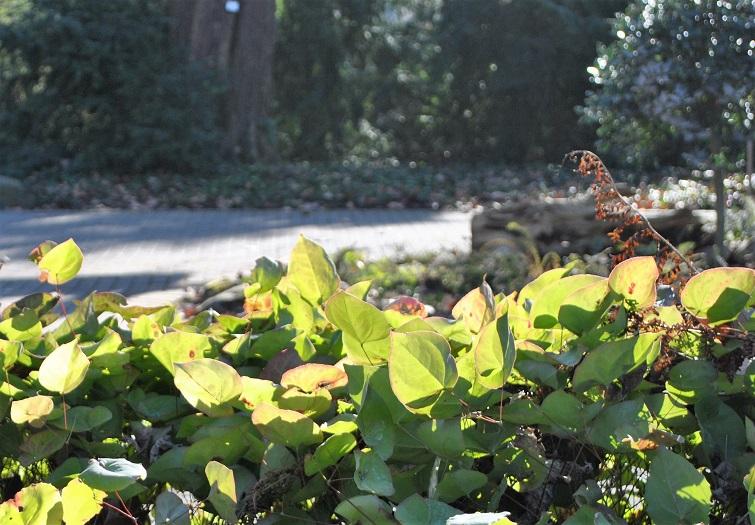 Immergrüne Bodendecker für Schatten