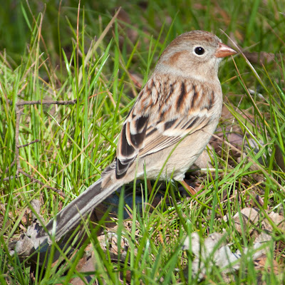 Field Sparrow, Lewisville Lake Environmental Learning Area