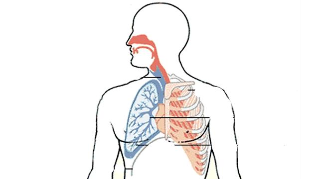 Cómo dibujar un Sistema Respiratorio