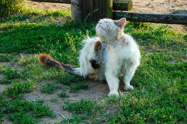 Cat Flea Treatment – The Safe Way