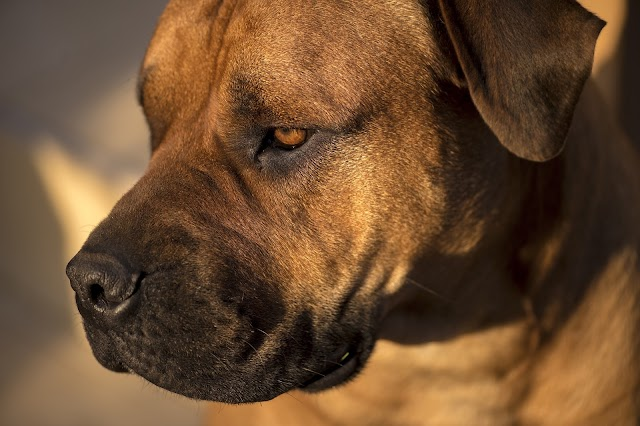 Boerboel Dog Breed Information and Pictures - Dogbreedsfact