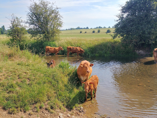 Cows paddling in the River Rib between points 3 and 4 below  Image by Hertfordshire Walker released via Creative Commons BY-NC-SA 4.0