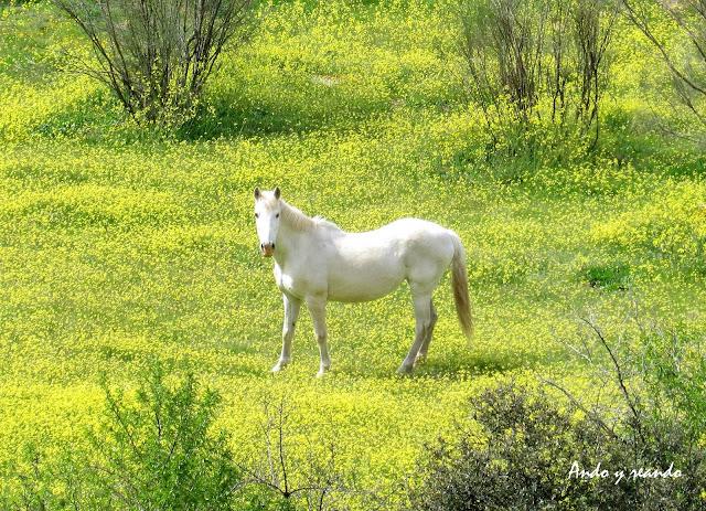 caballo blanco, praderas, flores amarillas, primavera