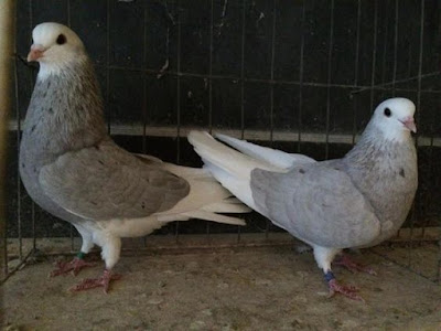 lavander pigeons