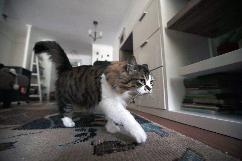 conozca la personalidad de su gato regalón