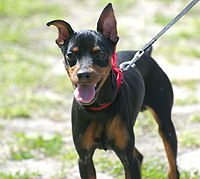 Black Miniature Pinscher dog with big smile
