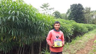 Kesaksian petani singkong yang memakai pupuk organik supernasa