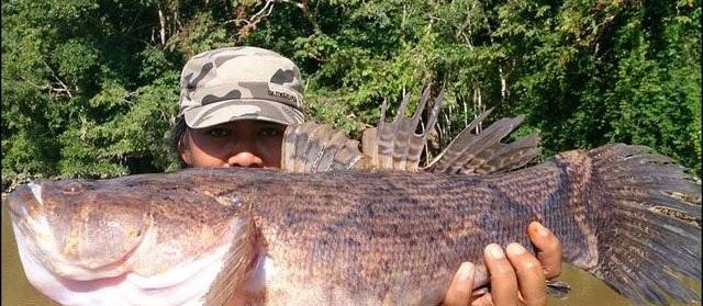 Gambar Ikan Betutu Hias dan Konsumsi Ukuran Terbesar
