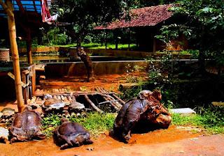 Desa Belawa Cirebon