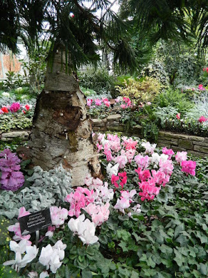 Pink cyclamen at the 2018 Allan Gardens Conservatory Winter Flower Show by garden muses--not another Toronto gardening blog