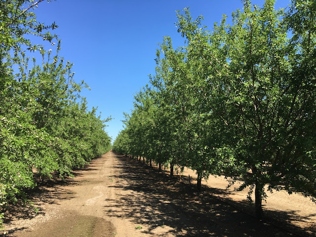 almond trees no blossoms