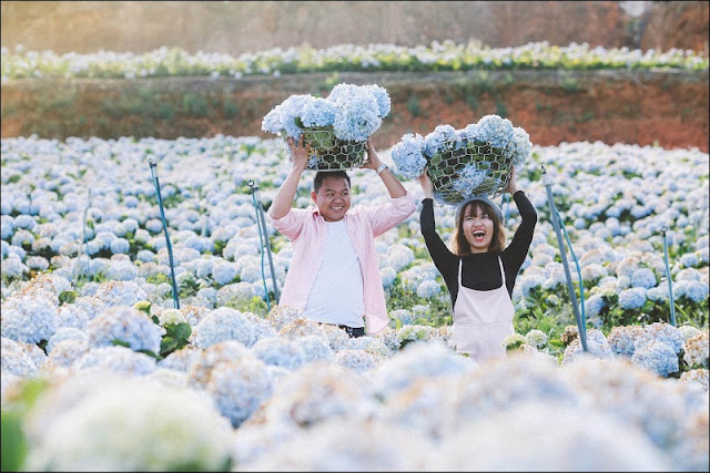 Discovering hydrangeas field in Da Lat 2