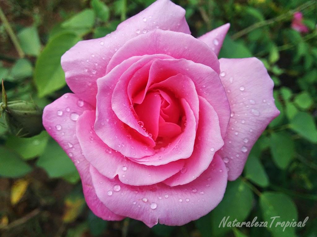 Rosa rosada con rocío