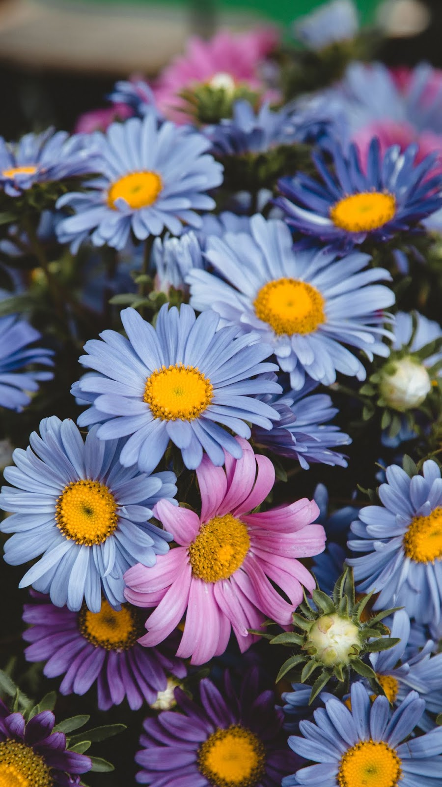 Colorful Chamomile