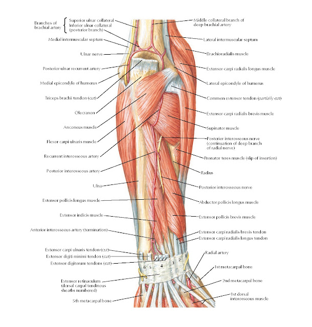 Muscles of Forearm (Deeper Layer): Posterior View Anatomy