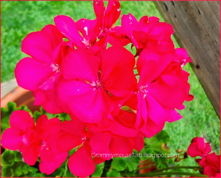 red geranium - so amazing color hgtv- flower garden photography