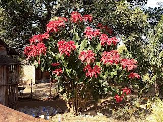 Cirsium ehrenbergii, Cardo santo, Christmas plant