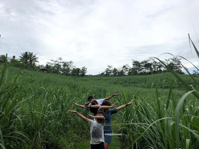 Rindu jelajah, foto sebelum pandemi di kebun tebu di pinggiran Yogya sebelah barat   ⓒjelajahsuwanto