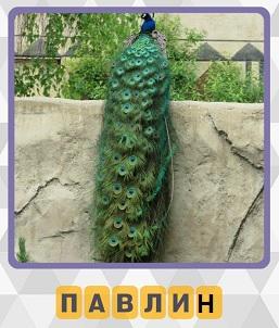на бетонном заборе сидит павлин с красивым хвостом