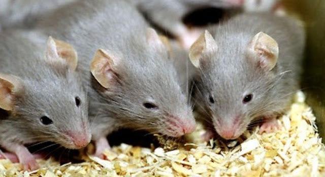 """Đuổi sạch chuột trong nhà với tuyệt chiêu """"dùng chuột khử chuột"""""""