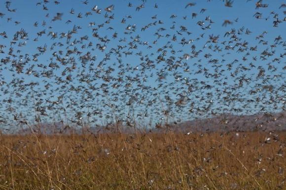 Hàng trăm tỷ con châu chấu sát biên giới, Cục Lâm nghiệp TQ ra thông báo khẩn