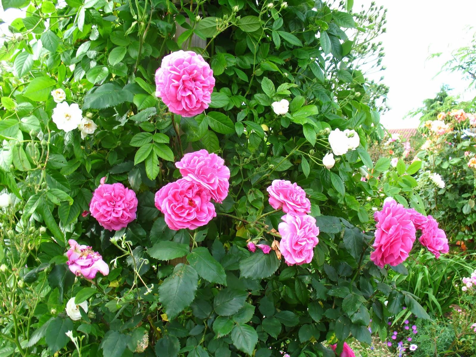 """Faire Un Rosier Avec Une Rose roses du jardin chêneland: rosier """"mme isaac péreire"""", son"""