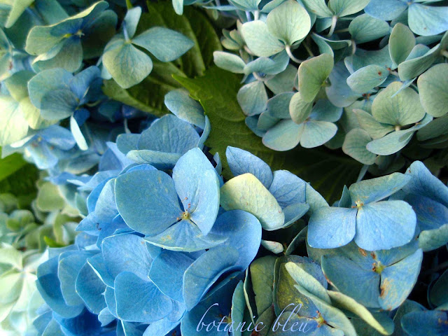 Multiple shades of blue and green hydrangeas