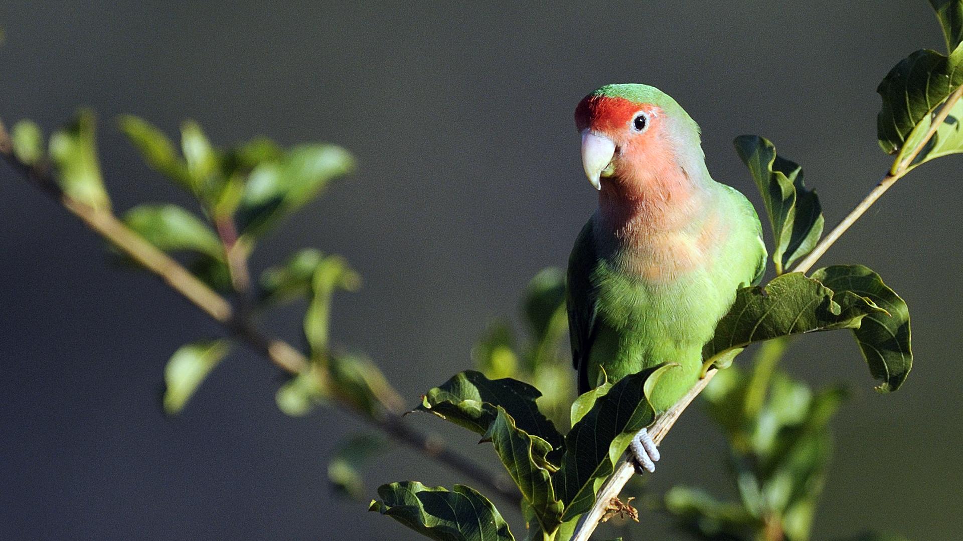 Lovebird Suara Gacor Disukai Penggemar Burung Kicau