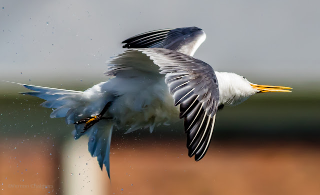 Swift Tern in Flight Photography - Woodbridge Island / Cape Town Copyright Vernon Chalmers