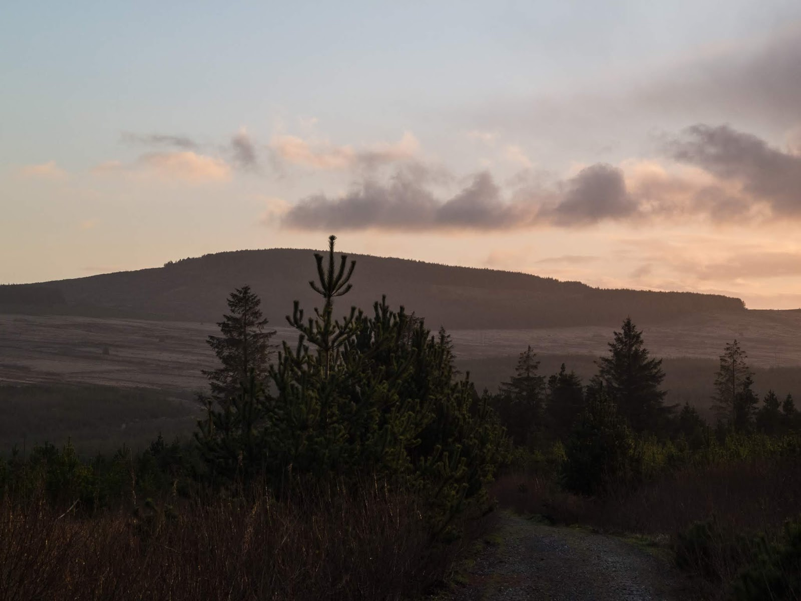 A path through young conifer trees in the Boggeragh Mountains during a sunset.