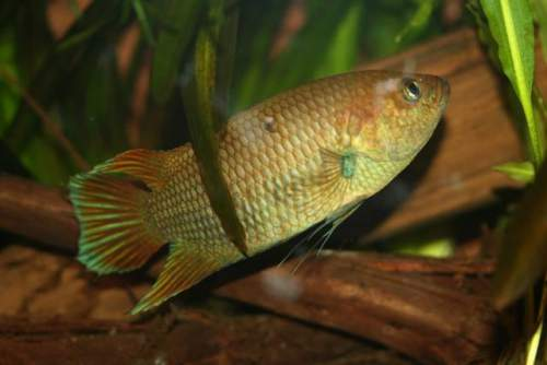 Ornamental aquarium fish - Image of Ceylonese combtail - Belontia signata