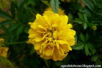 Aksamitka rozpierzchła 'Petite Yellow'- Tagetes patula 'Petite Yellow'