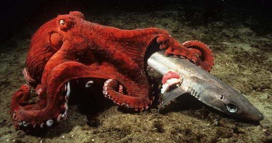 Gurita Pasifik Raksasa