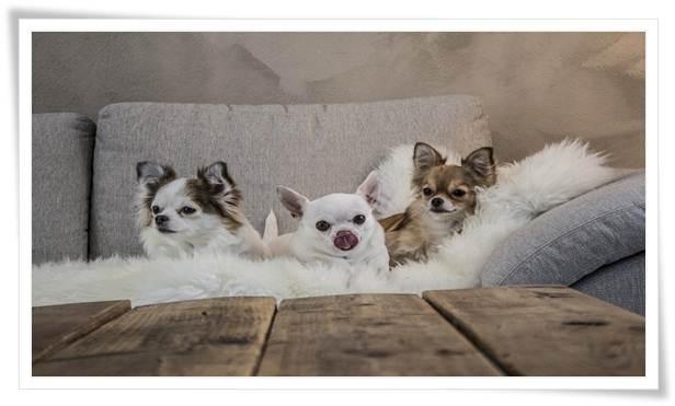 training Chihuahuas